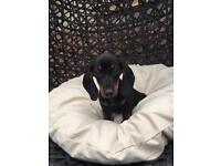 For Sale Miniature Dachshund Puppy
