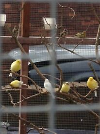20 show quality fife canaries