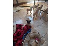Kc Registered Pug Pups