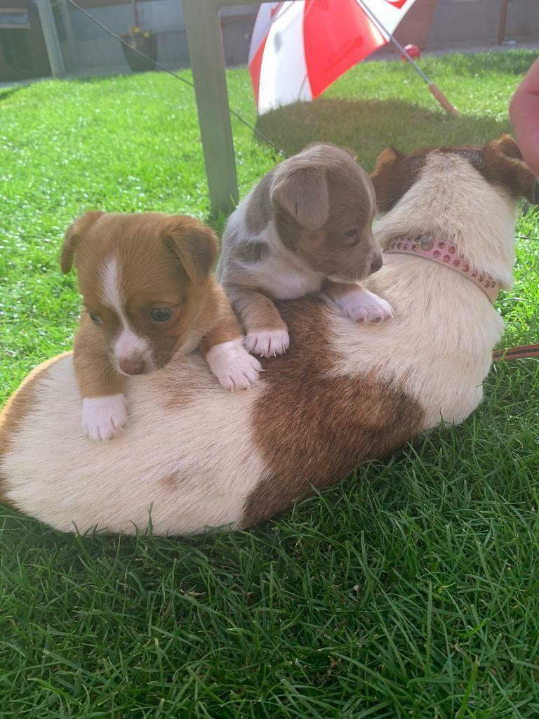 Jack Russell X Chihuahua Puppies In Polegate East Sussex Gumtree