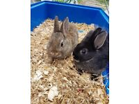 Netherland dwarf baby rabbits only 2 left
