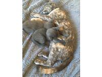 Two delightful, Burmese- Bombay mixed kittens