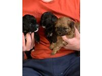 6 beautiful Shih Tzu / poodles for sale