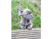 French bulldog puppies female
