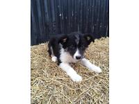 Only 2 beautiful border collie pups left for sale