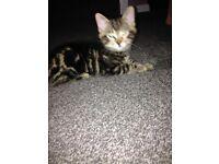 Tabby kitten boy