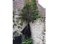 Conifers Large