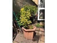 Golden japonica evergreen