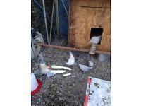 Porcelain sablepoot chickens