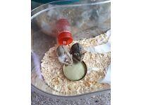2 Russian dwarf hamsters SOLD