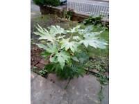 Big pot Fatsia japonica