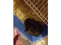 Black dwarf rabbit and cage
