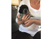 Gorgeous teddy bear poochon puppies 6 weeks old