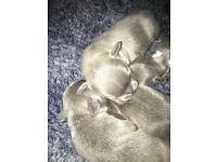 **Blue staff puppys** only 2 girls left!