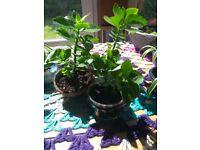 Baby Kalanchoe Blossfeldiana Succulent Plants
