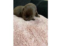 Chocolate & black Labrador puppies for sale