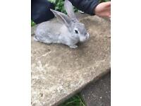 Baby continental rabbit