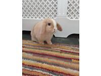 Mini lop boy rabbit