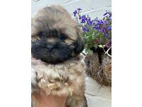 Zuchon teddy bear Puppies FOR SALE!!!