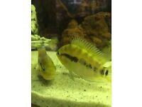 Rainbow cichlids
