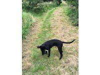Adorable 8 month old black Labrador for sale
