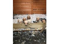 Fox Red and Yellow Labrador pups