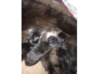 Three black kittens one day old currently ready to go in just under 8 weeks