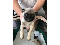 Pug pup male for sale 750 kc reg.