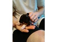 Tiny Tri coloured JackRussell puppies Kent