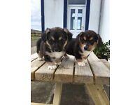 Corgi puppies (cardigan) tri colour ready now