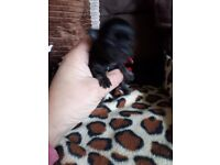 TINY FEMALE CHIHUAHUA PUPPY