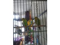 9 budgies and very large cage
