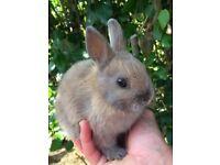 Baby netherland dwarf rabbits ready now