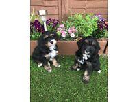 3 male Cavapoo puppies remaining