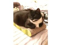 Lost black and white neutered male cat. Belsize Park
