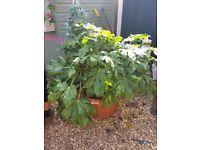 Fatsia japonica Garden plant