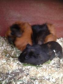 Femail Guinea pigs for sale