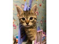 Cute tabby kittens, litter trained