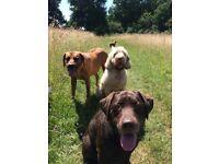 Professional Dog Walker / Dog Walking Service