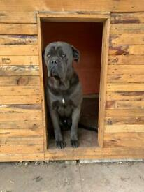 Stunning cane corso male for sale