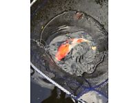 "Koi carp. Tri colour. 10-12"". A beauty!"