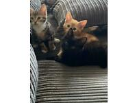 Half Bengal Kittens For Sale
