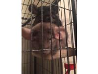 Two lovely female chinchillas