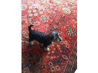 Yorkshire terrier 12 weeks for sell