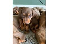 Miniature Dachshund Puppies