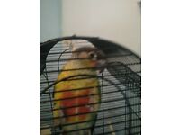 Baby conure for sale.