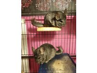 Two Grey Male Chinchillas Without A Cage For Sale