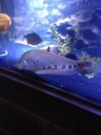 Golden knife fish