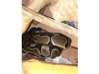 Royal python and enclosure for sale