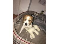 Beagle Puppy male (looking for his forever home)